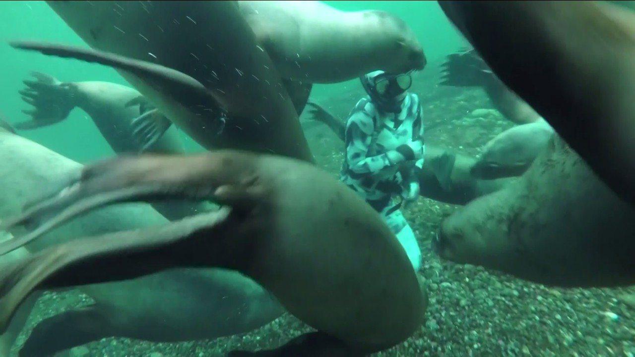 荷蘭攝影師烏佛勒和女友,之前在加拿大的霍恩比島海岸潛水時,意外邂逅一群愛玩的海獅...