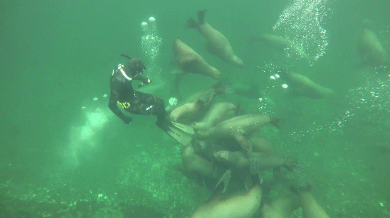 好奇心重的海獅,成群聚集在潛水員的蛙鞋下。美聯社/Joost Van Uffel...