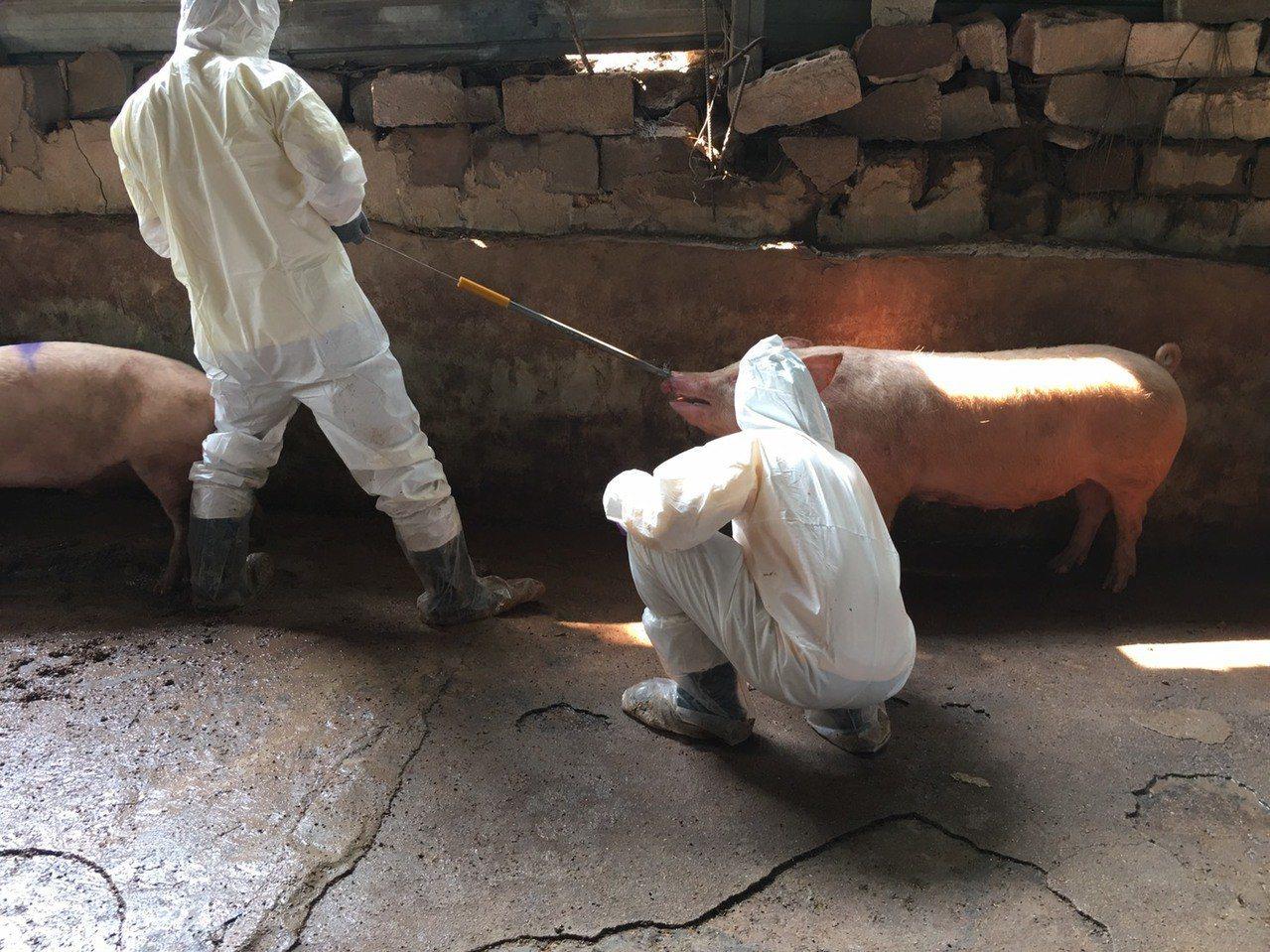 金門縣防疫所針對發現海漂豬的周邊海域3公里範圍內的6個養豬場進行訪視,並抽取血液...