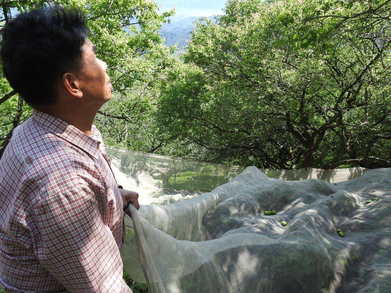 暖冬梅況慘澹,過去青梅覆蓋網面的情景不復見,林地農民更因非農牧地,農損補助「看得...