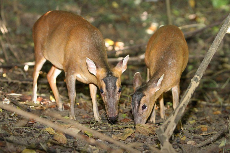 山羌自2019年初,從保育類名錄中除名。 圖/壽山國家自然公園提供