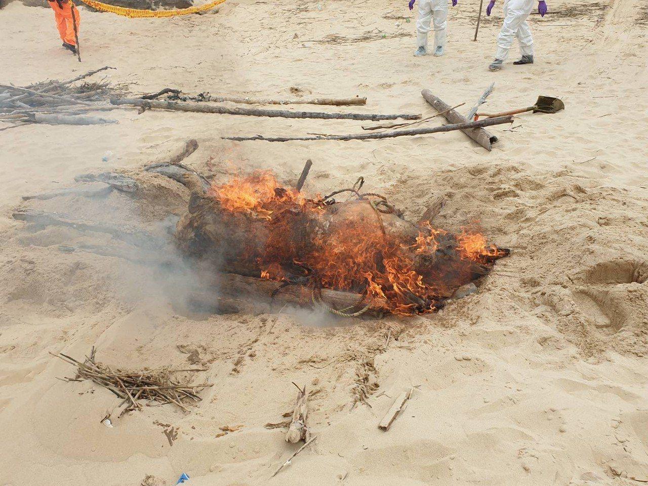 金門金城鎮銅牆山海灘岸際在8日發現一隻約150公斤漂流豬屍,採樣後,立即現地進行...