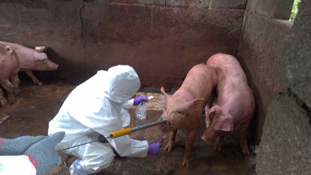 金門縣防疫所在今日上午派員在海漂豬屍地點的周邊半徑3公里內,9場養豬場採樣,每場...