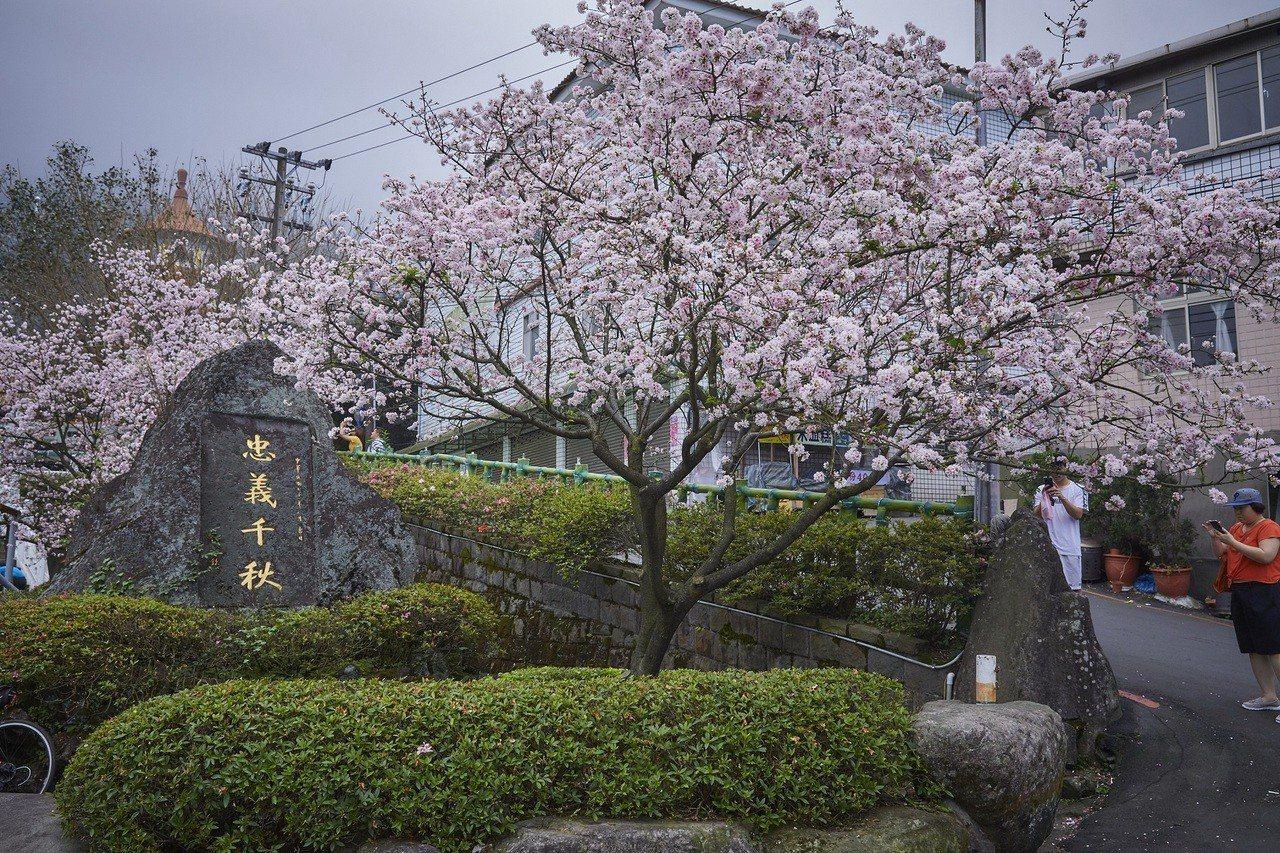天元宮吉野櫻目前終於綻放,門口櫻花已滿開。圖/新北市景觀處提供