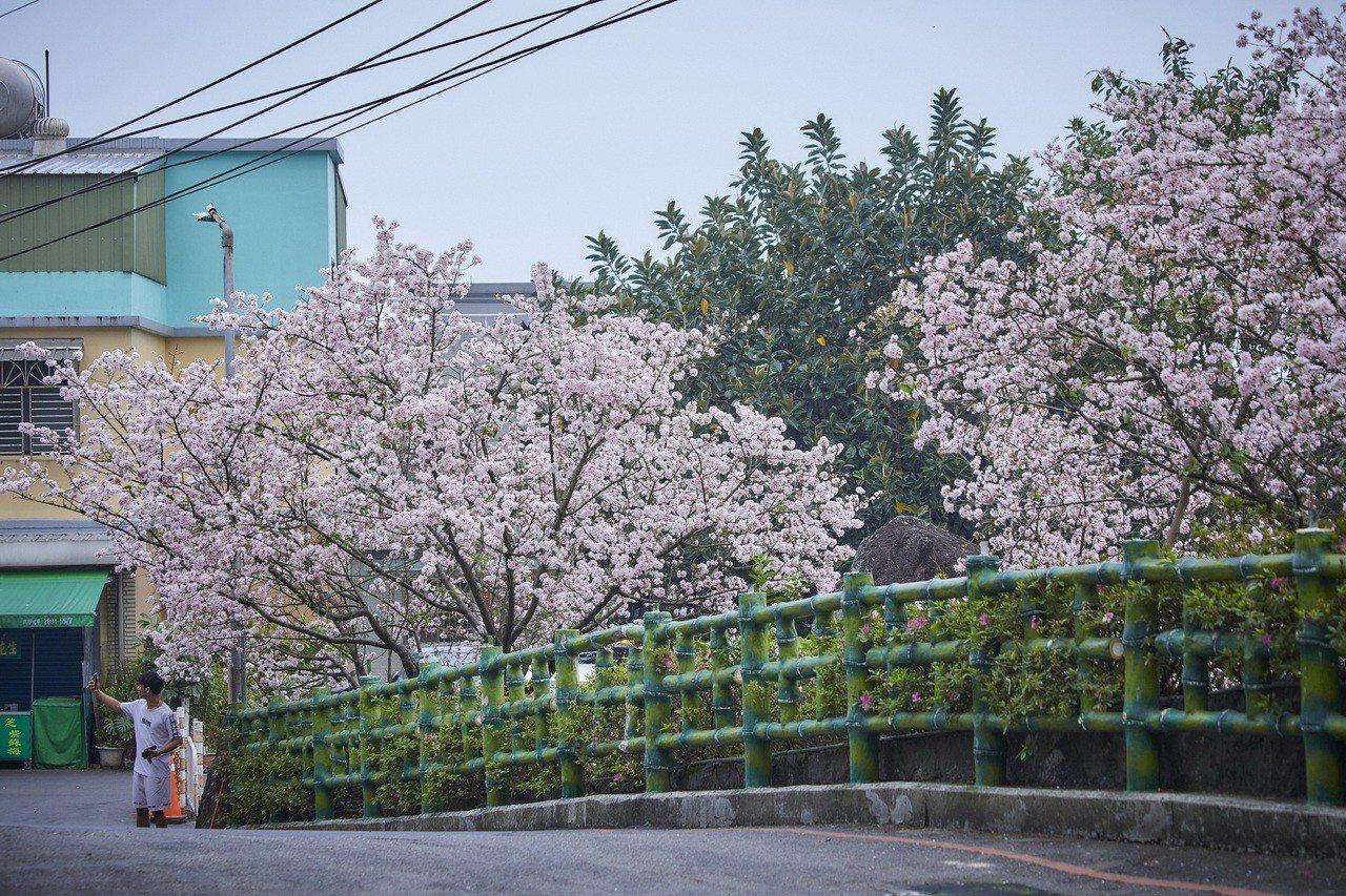 天元宮吉野櫻終於在這周綻放,民眾可趁花期前往賞櫻。圖/新北市景觀處提供