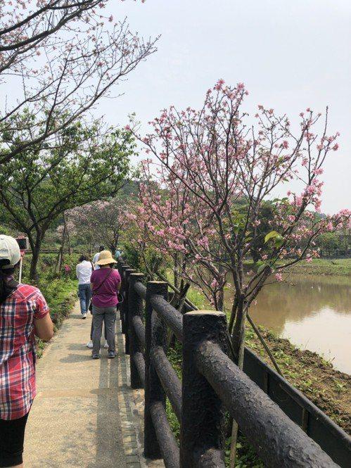賞櫻民眾可前往三芝的三生步道,民眾漫步櫻花樹下,伴隨著潺潺溪水與田野風光,舒服又...