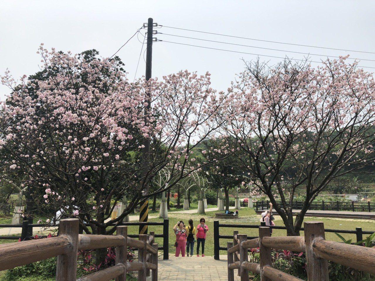 賞櫻民眾可前往三芝的三生步道,全長4公里的步道兩側栽植約400株櫻花樹。圖/新北...