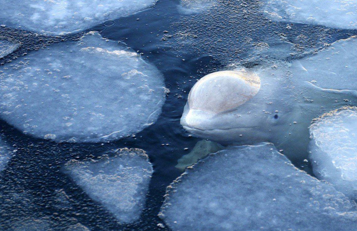 「鯨魚監獄」內的鯨豚,有著皮膚病變、鰭肢退化等健康隱憂。在剛過去的冬天,鯨豚在溫...