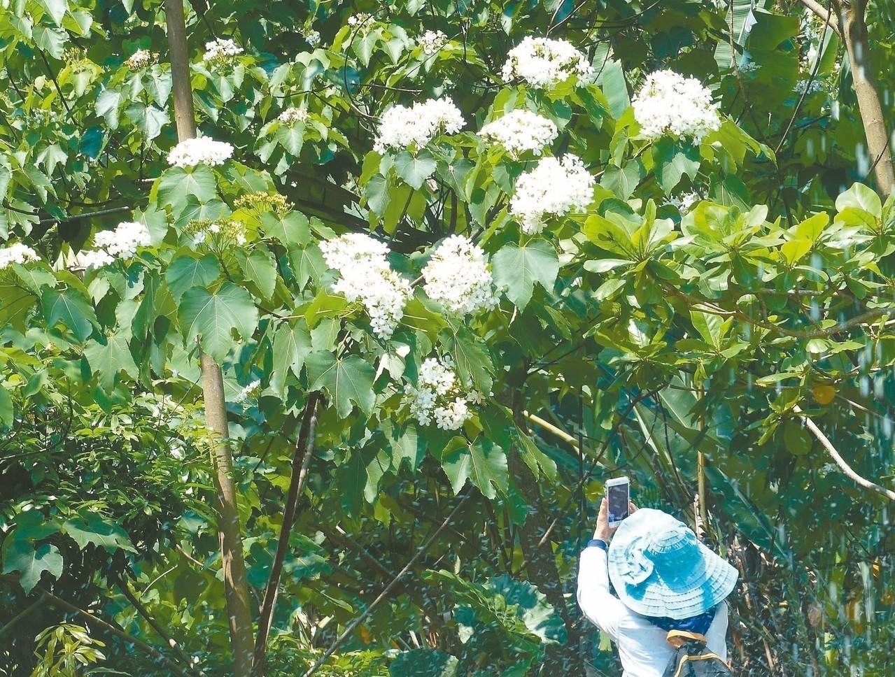 彰化市福田賞桐生態園區的油桐花花朵既大又美。 記者劉明岩/攝影
