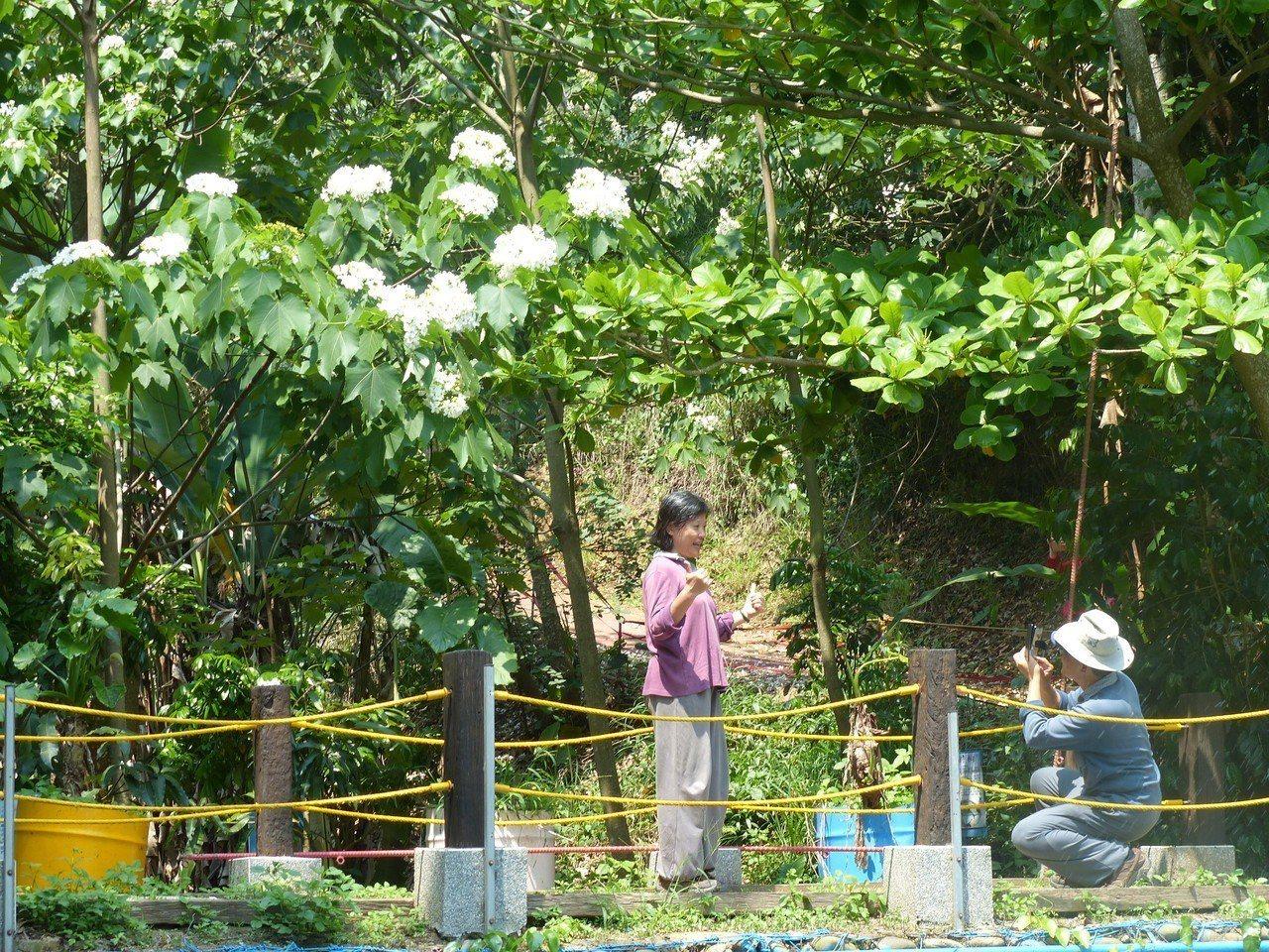 彰化市福田賞桐生態園區的油桐花可近距離欣賞。記者劉明岩/攝影