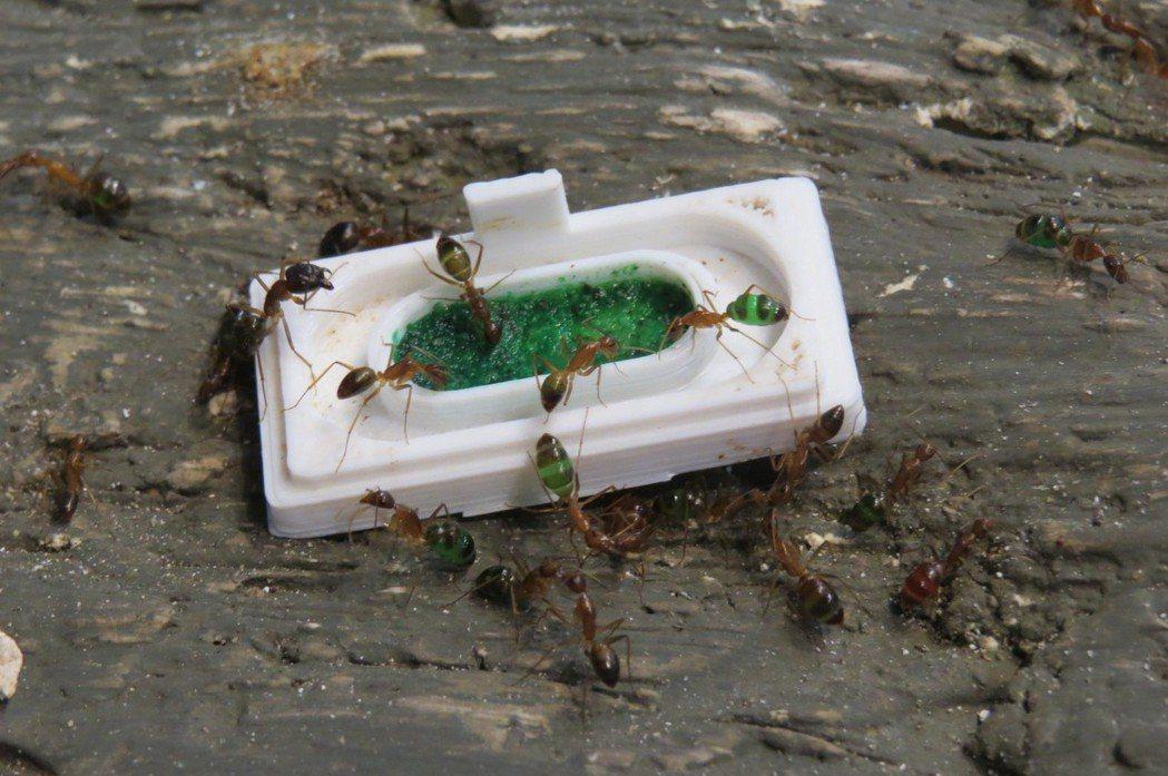 台灣本土的巨山蟻會因食物而變色。 李福忠/攝影