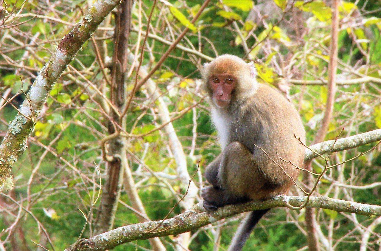 山區台灣獼猴保育有成,卻因數量太多、獼猴掠食農作,影響農民生計。記者卜敏正/攝影