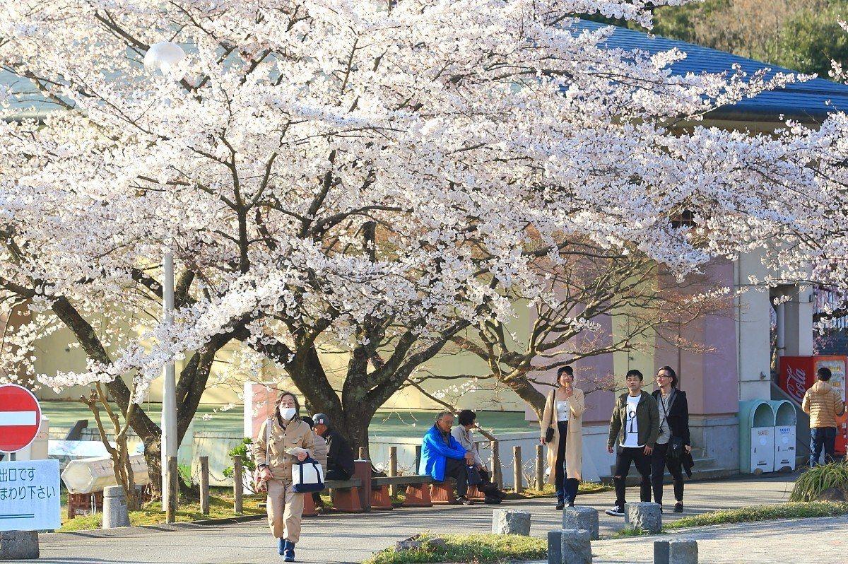 盛開的櫻花樹林,讓真野公園成為佐渡島上最知名的賞櫻地點之一。記者陳睿中/攝影