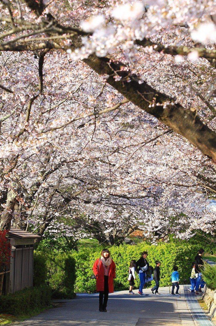 儘管真野公園的櫻花現僅有5~6成,但是仍可欣賞到壯觀的櫻花花海。記者陳睿中/攝影