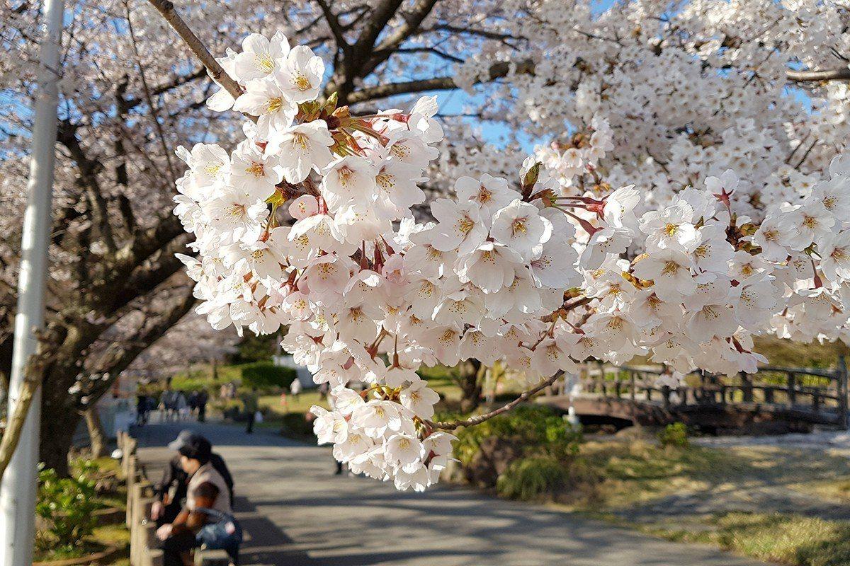 粉嫩的櫻花在陽光照射之下,更顯嬌媚。記者陳睿中/攝影