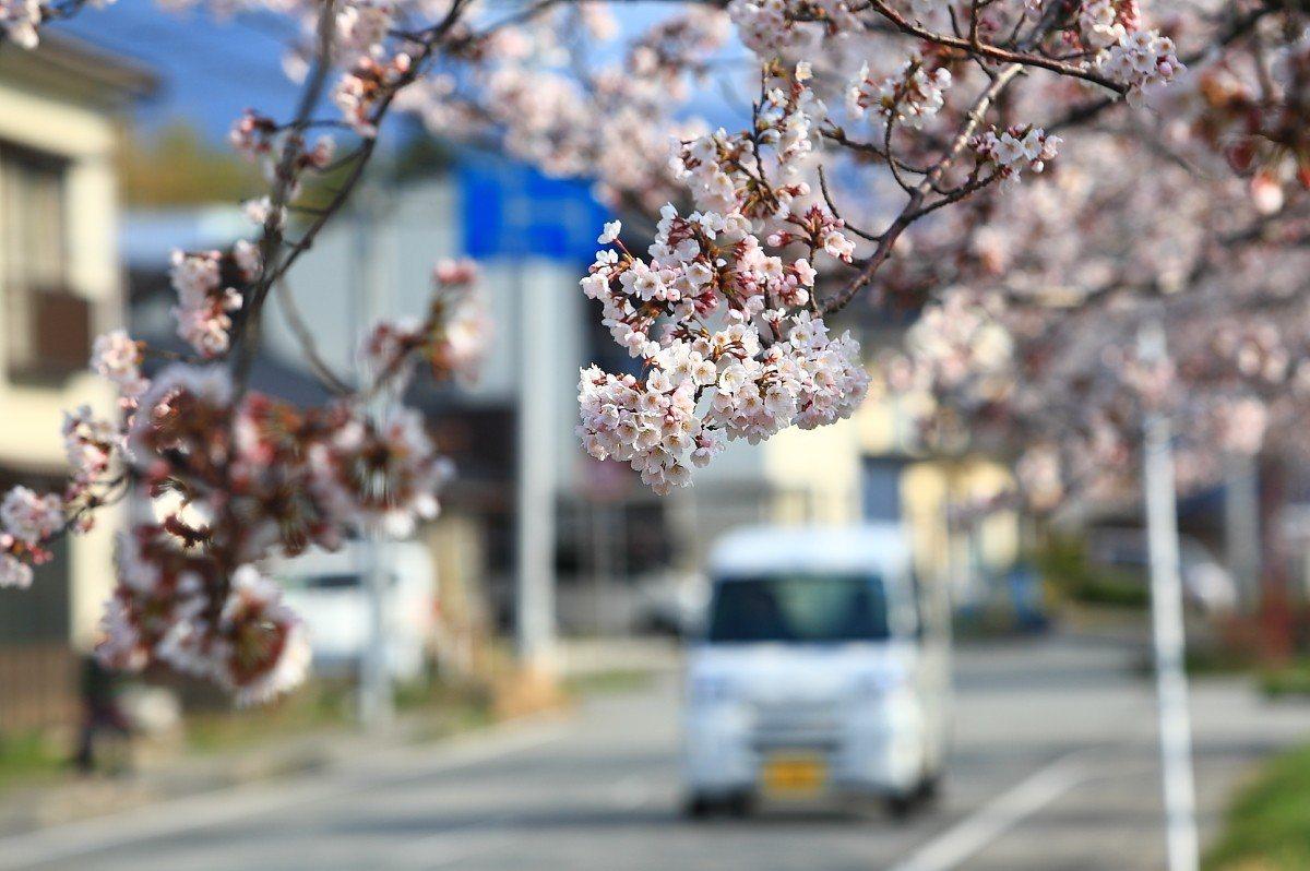 鄰近佐渡市場的車道旁,同樣可欣賞櫻花之姿。記者陳睿中/攝影