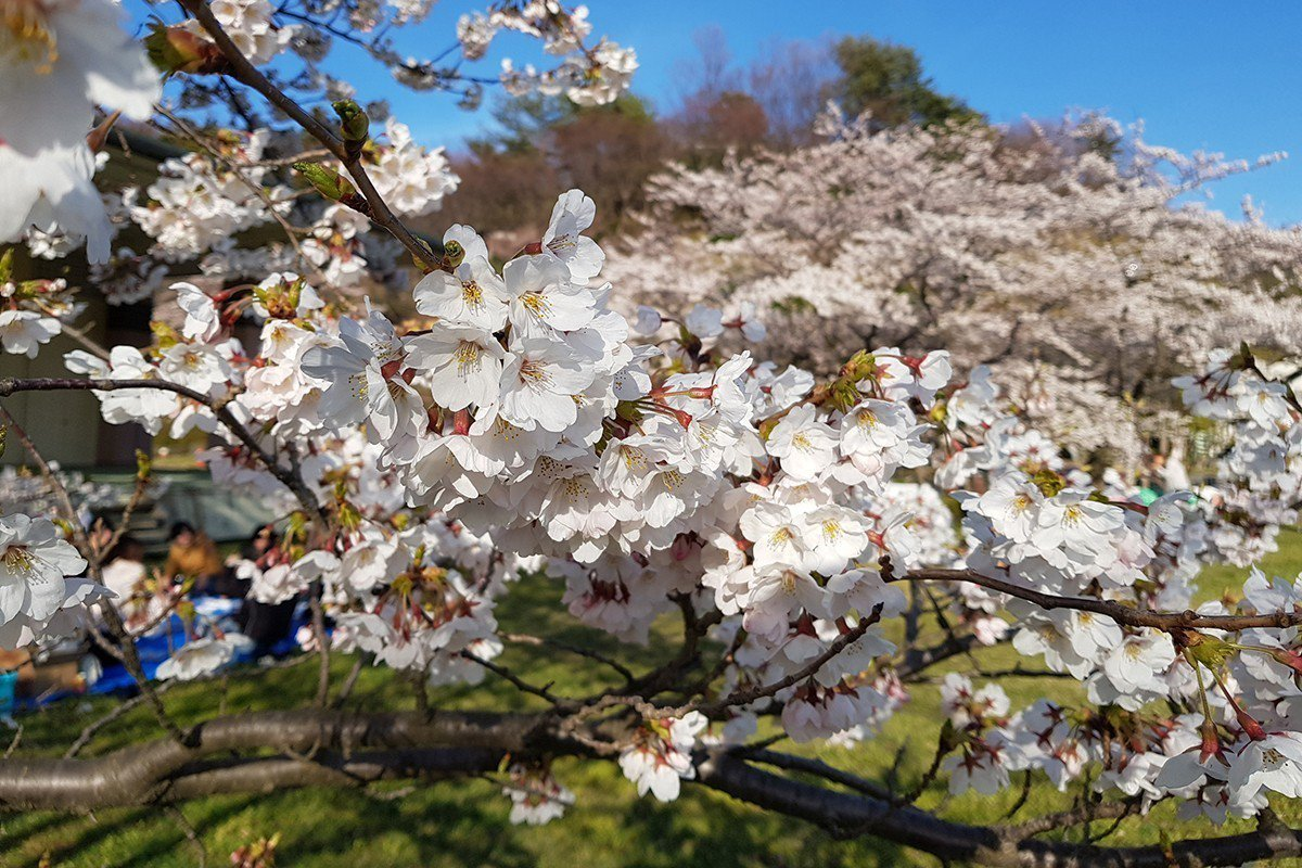 真野公園目前櫻花已經開近6成,已吸引民眾來此野餐、賞櫻。記者陳睿中/攝影