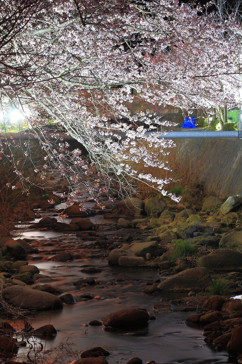 夜晚的真野公園,可以欣賞到夜櫻之美。記者陳睿中/攝影