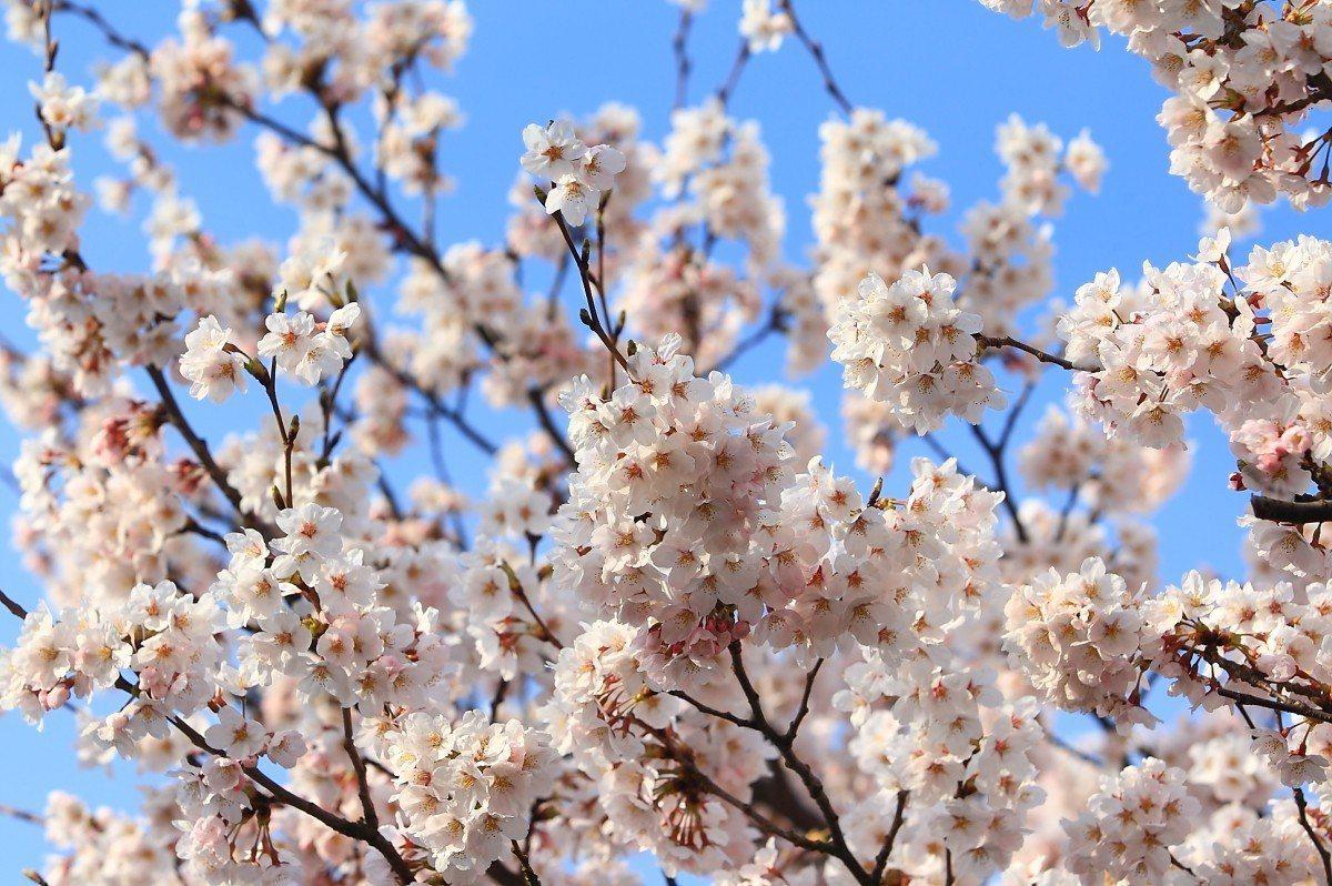 目前佐渡島上多處地點的櫻花都已陸續開花,為島上增添春意。記者陳睿中/攝影