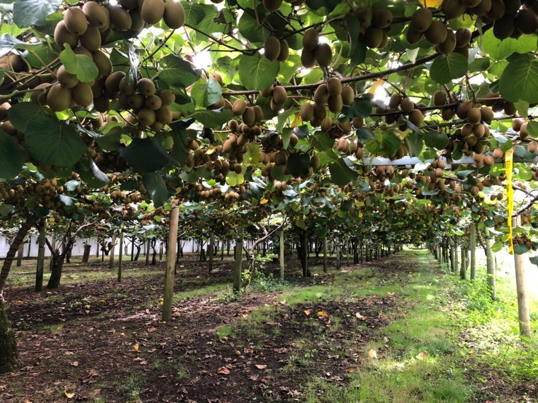 奇異果果園中果實纍纍,各個都呈現飽滿多汁的狀態。 Zespri /提供