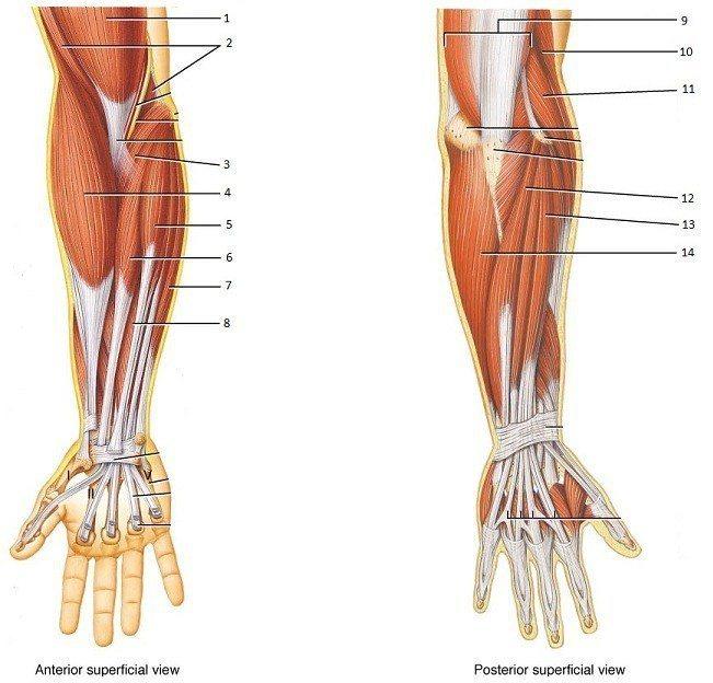 手指、手腕、前臂、手肘的肌肉、肌腱、韌帶圖,圖片來源:https://hom...