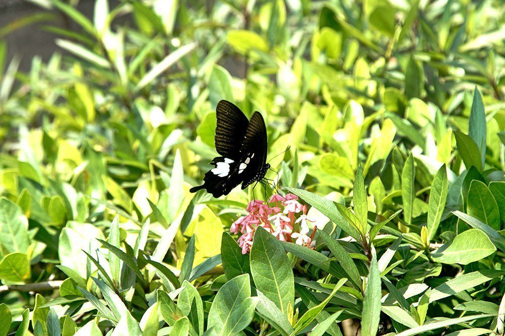 六龜蝴蝶種類繁多,因而有彩蝶谷美名。 (攝影/曾信耀)