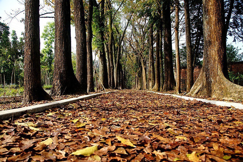 桃花心木林最美麗的時節就在四五月落葉期,充滿異國風情。 (攝影/曾信耀)