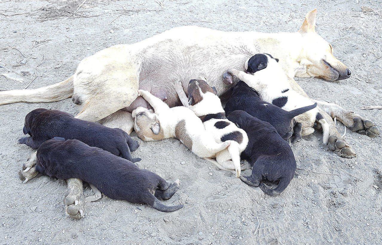 台灣動物緊急救援小組乃決定將整窩母子狗帶回高雄市區的動物醫院安置,讓狗媽媽能補充...
