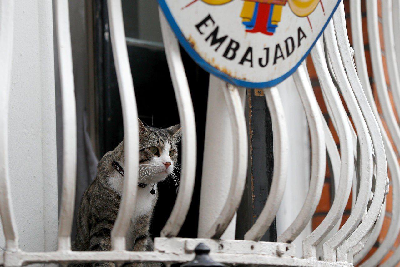 亞桑傑的貓去年7月底時坐在厄瓜多使館窗台上看著外頭。路透