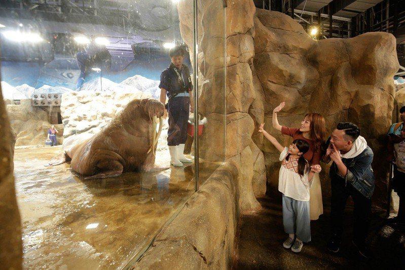 香港海洋公園於4月19日至5月1日舉辦「親親動物月」,近距離接觸肥嘟嘟的海象,體驗親手餵飼營養大餐。 圖/香港海洋公園提供