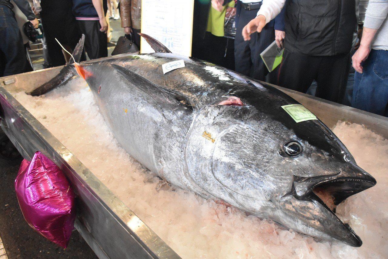 蘇澳籍漁船金協益268號釣到重達210.8公斤的黑鮪魚,經鑑定小組確認後,確定是...