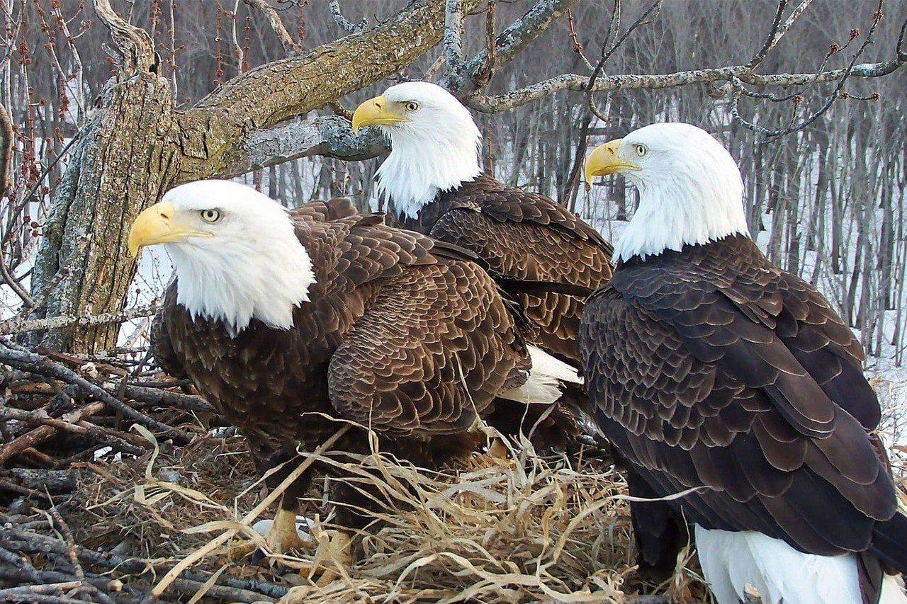 一個禿鷹巢內竟有「兩個爸爸一個媽媽」。取自國家奧杜邦協會