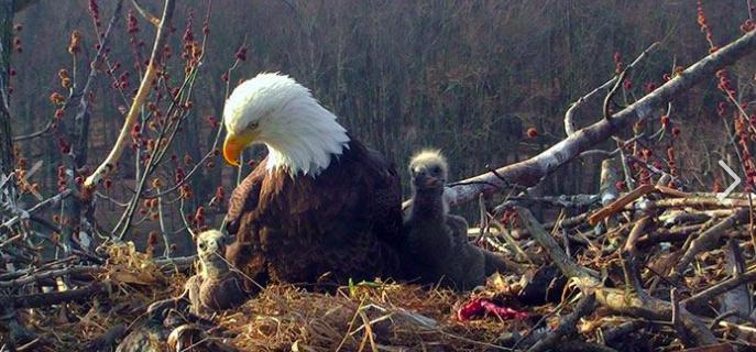 美國密西西比河近日出現罕見一幕,一個禿鷹巢內竟有「兩名爸爸一名媽媽」。取自U.S...