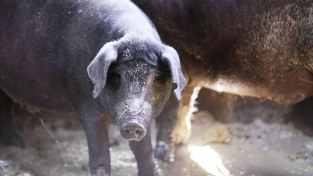 李榮春的平埔黑豬從不吃廚餘,利用配方飼料精準控制育成期與換肉率。記者鐘聖雄/攝影