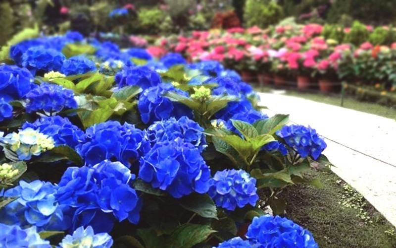 圖/農場園區內繡球花花季於13日開跑。擷取自粉絲團。