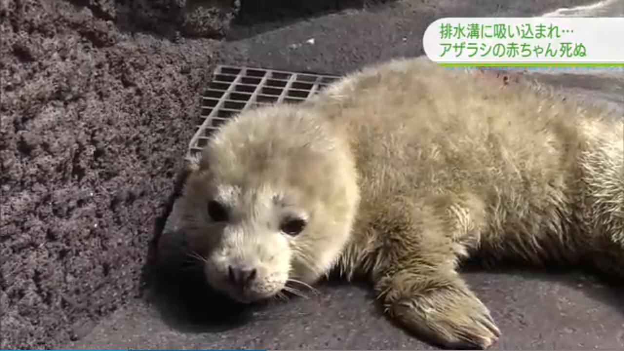 上個月出生於日本鶴岡市加茂水族館的小海豹,因頭部被吸入水池的排水孔,還沒來得及長...