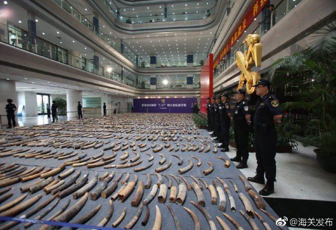 大陸海關近日破獲一起特大象牙走私案,查獲的象牙合計重達7.48噸。(取自大陸海關...