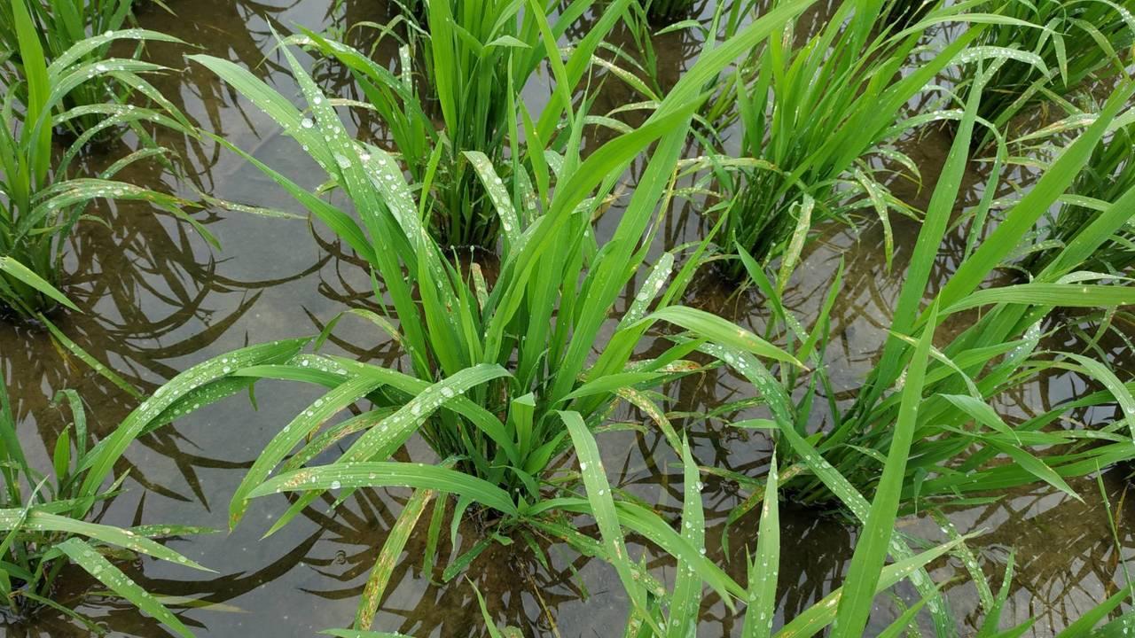 桃園區農業改良場監測發現,桃園楊梅區已發生葉稻熱病,且近期氣候符合發病條件,發病...