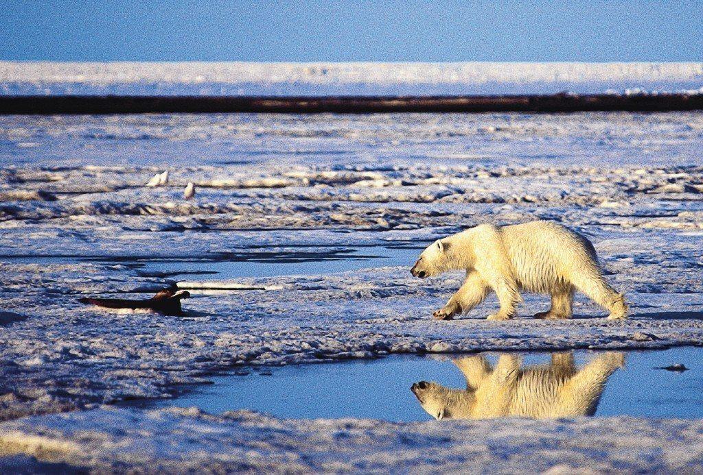 全球暖化導致北極海冰快速消融,北極熊只能小心翼翼地行走在僅存的冰上。美聯社資料照片