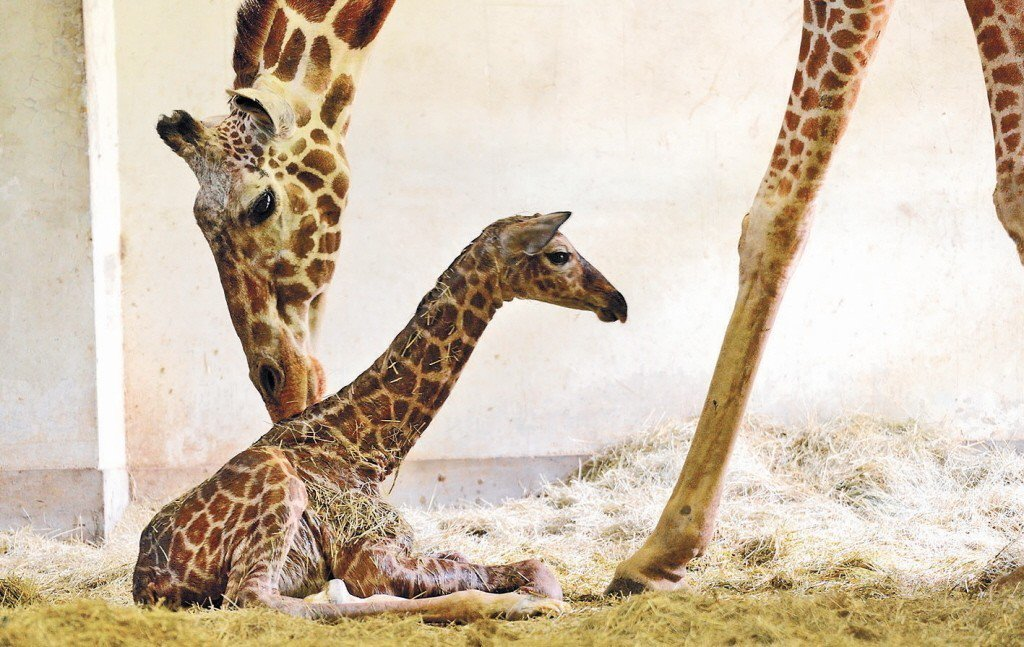 台北市立動物園的公長頸鹿「宵璋」,日前被發現在動物欄舍中死亡,經判死因為捻轉胃蟲...