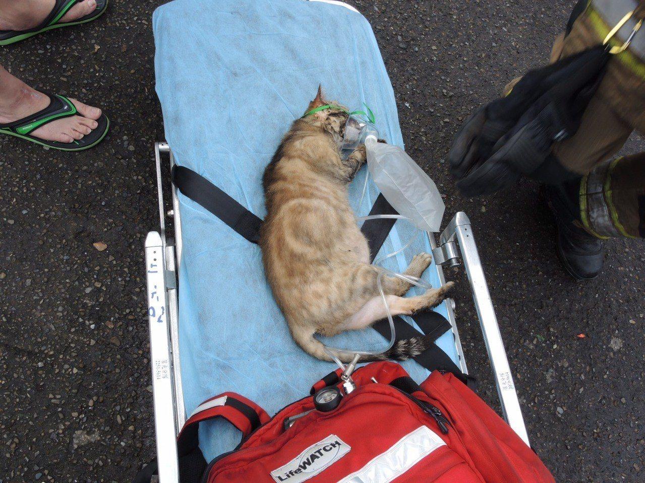 新北市板橋區發生公寓火警,消防人員從火場內救山一隻貓,並放在擔架上,還套上呼吸器...