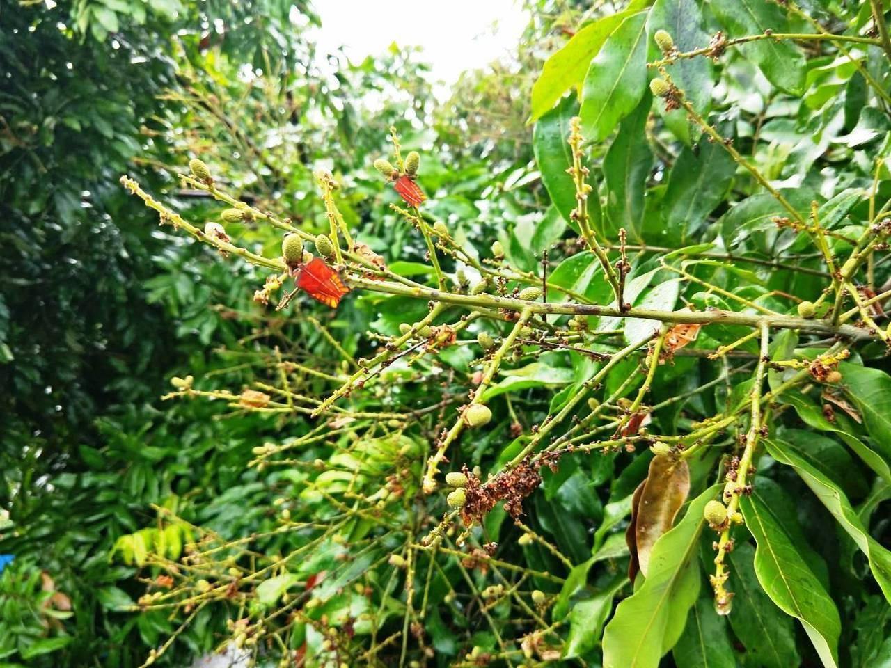 荔枝椿象大量繁殖,果樹上可見大量成蟲。圖/聯合報系資料照片