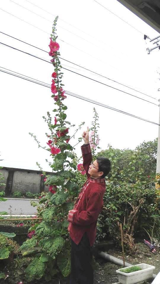 詹錫芬生前很喜歡蜀葵花,栽培10多年,5年前他一手打造員林市蜀葵花田,是每年春天...