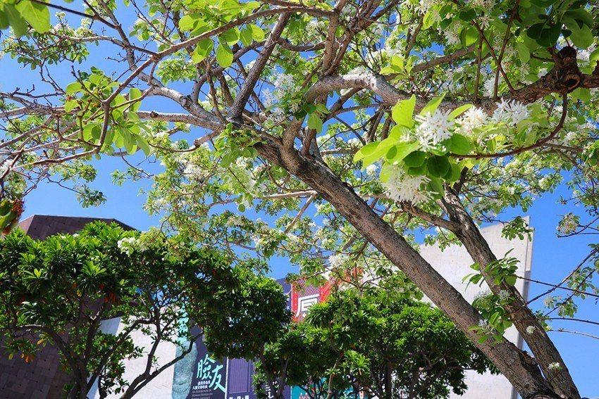 雪白花瀑暈染在十三行博物館的山海建築上,構成期間限定美景。 十三行博物館/提供