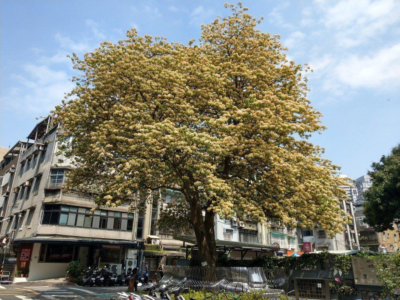 台電加羅林魚木,4月18日最新花況。圖/網友Cathy授權提供