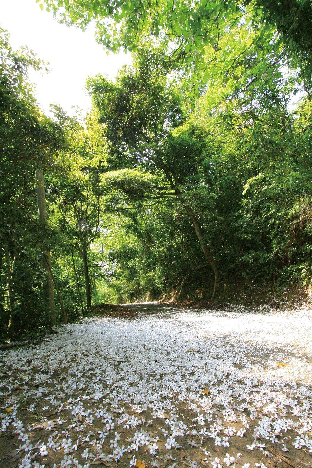 苗栗縣油桐花滿山遍野,山區小路落花有如鋪了白色地毯,讓人驚艷。圖/苗栗縣政府提供