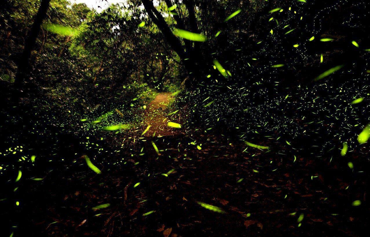 圖為海洋大學龍崗生態園區螢火蟲在林間飛舞檔案照,非暖暖綠色隧道螢火蟲。圖/海大提...