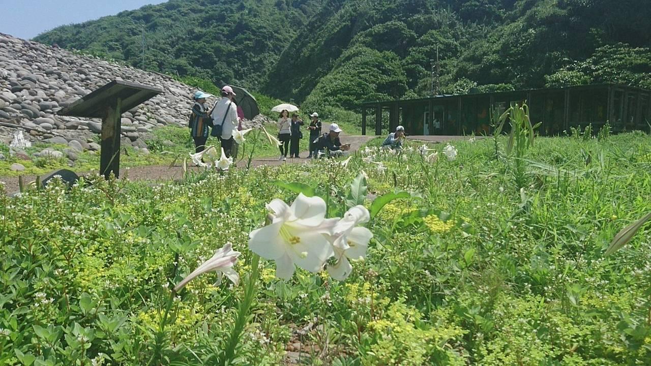 龜山島的百合花季來了。島上的原生種台灣百合搖曳生姿,被片外帶酒紅色條紋,別有風韻...