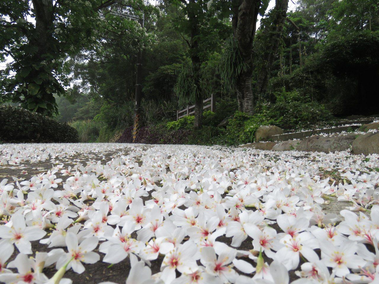 桃園市龍潭區三和步道已經看見桐花美景。圖/三和社區發展協會理事長黃月錩提供