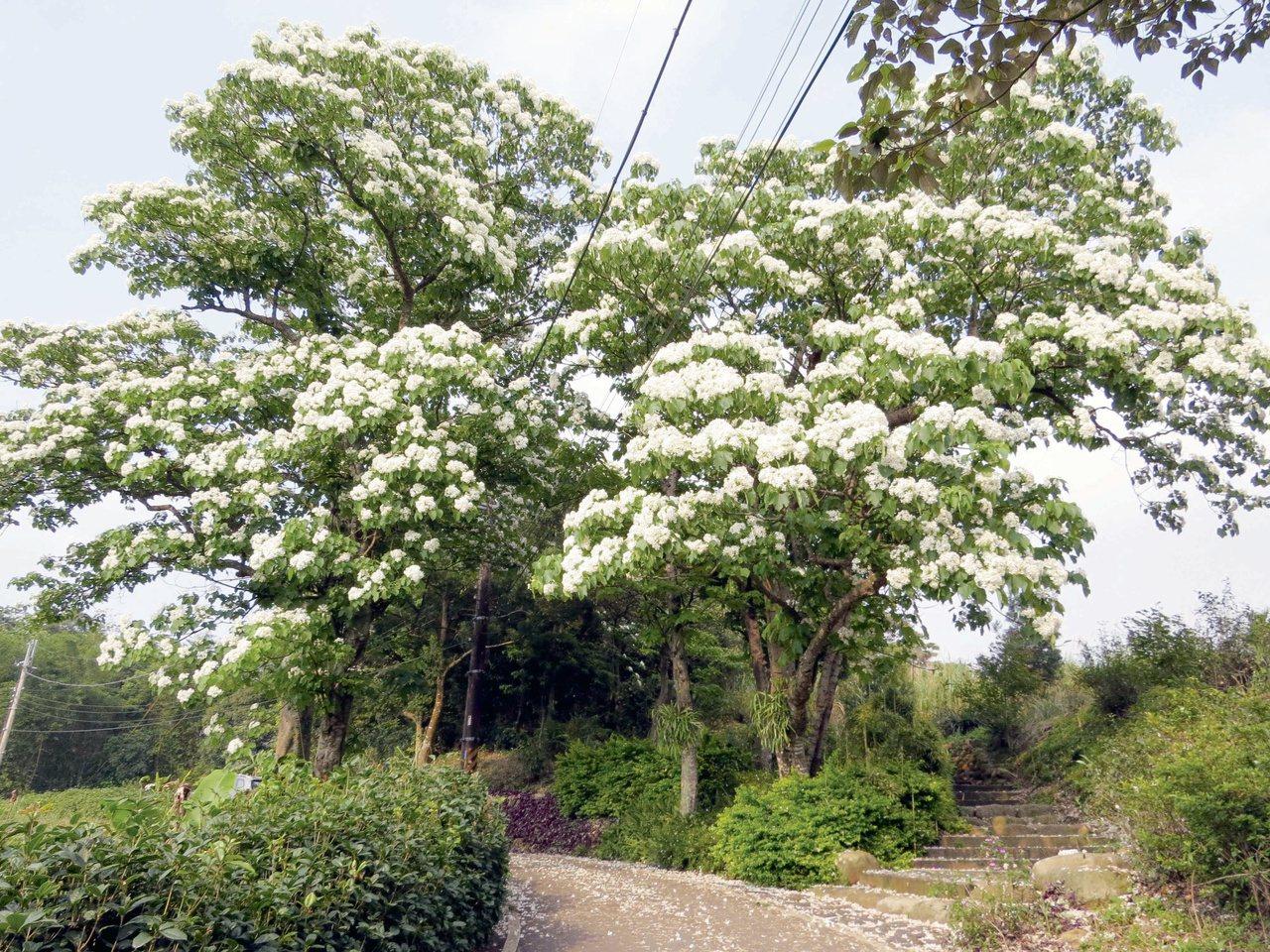 桃園桐花進入盛開季節。圖/三和社區發展協會理事長黃月錩提供